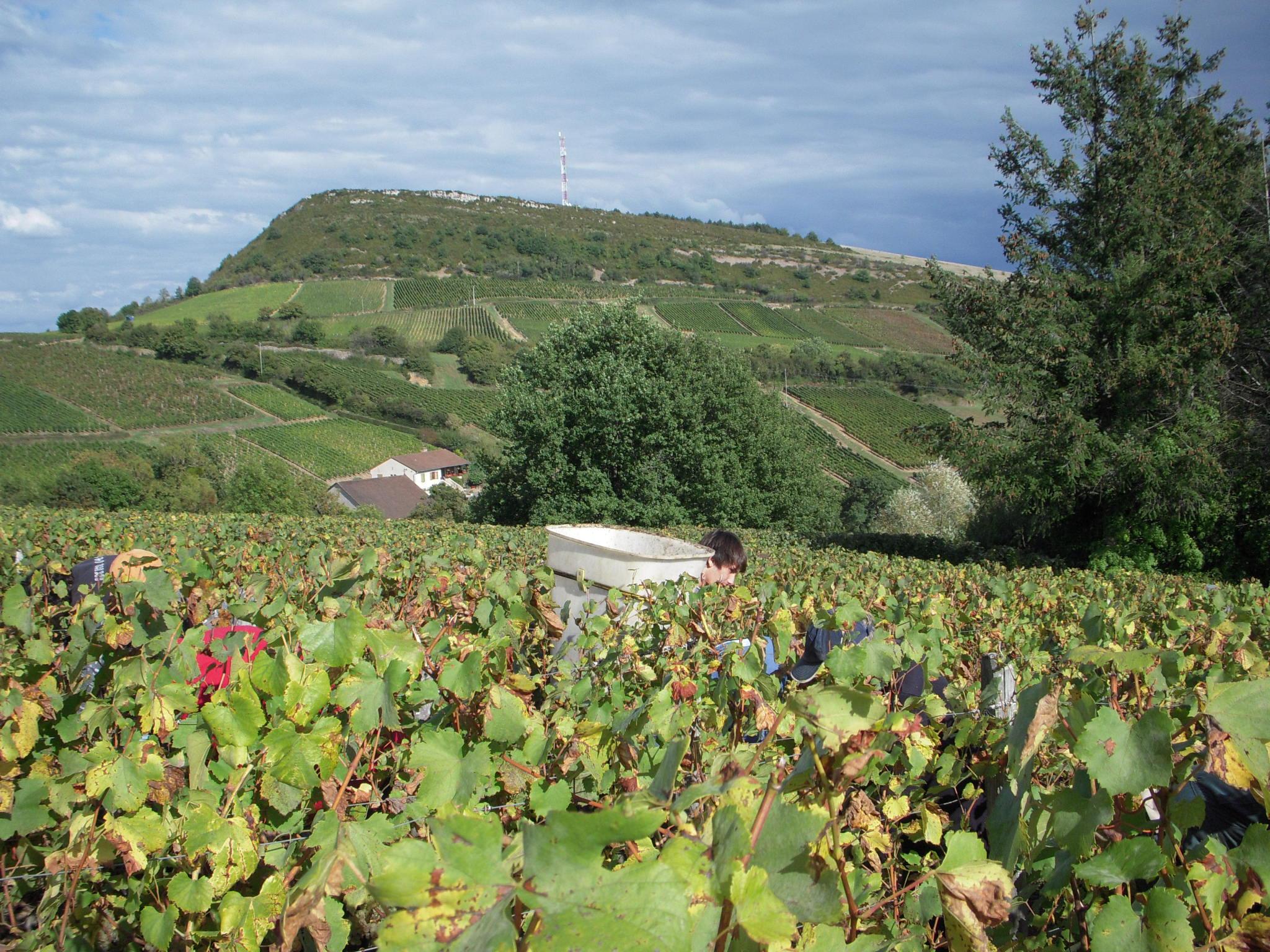 Terroir molingas ir kalkingas dirvožemis Burgundijoje